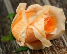Ruža vencová  JX1267-32