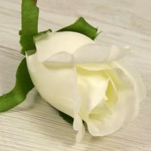 Ruža vencová  JX1910-2