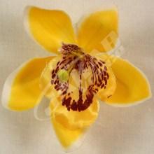 Orchidea vencová  SCC12-1