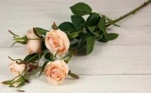 Vetva ruža x6  JX1067